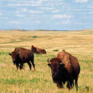 Buffalo in North Dakota