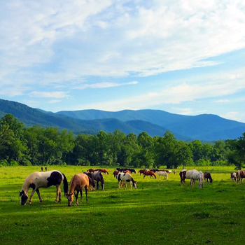 Horses in pasture in Tennessee