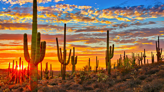 Saguaro cacti in desert with sunset