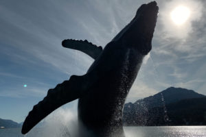 Whale jumping in Alaska